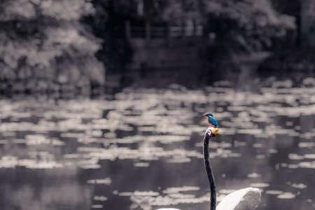 alcedo: Alcedo bird