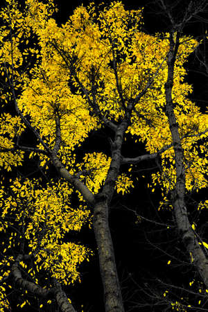 photoshop: a picture made with photoshop golden leaves on black background Stock Photo