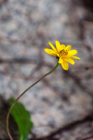 peacefulness: Wedelia chinensis flowers small yellow flower