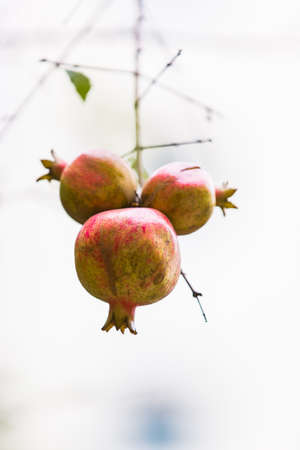 fruitage:  pomegranate Stock Photo