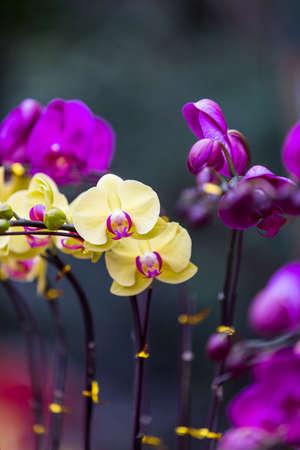 afrodita: aphrodite Phalaenopsis amarillo cierre encima de las flores Foto de archivo
