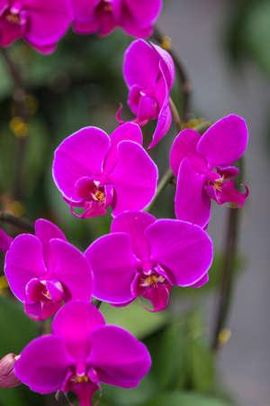 aphrodite: phalaenopsis aphrodite yellow close up flowers