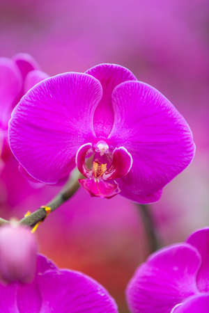 aphrodite: Orquídeas mariposa Phalaenopsis Aphrodite