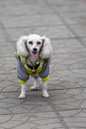 dressed up: Dressed up dog