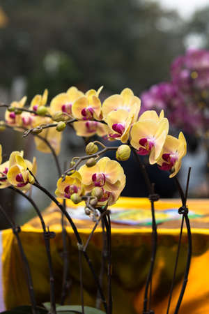 aphrodite: Phalaenopsis Aphrodite butterfly orchids Stock Photo