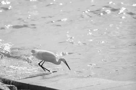 peacefulness: Shenzhen Bay Egret Stock Photo