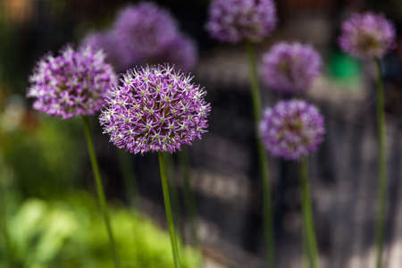 allium: Allium giganfeum,Giant Onion