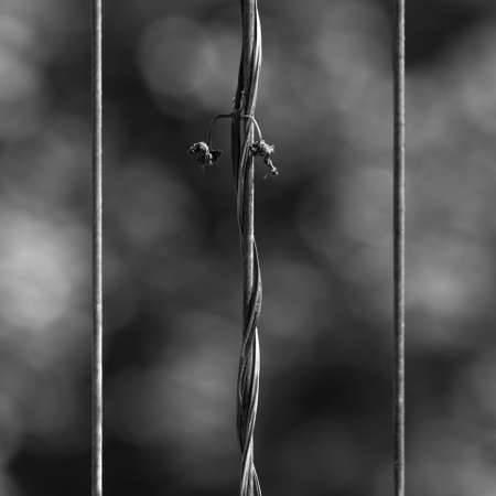 withered: Withered vines on fence stick