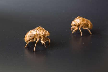 cicada: Cigarra Slough Foto de archivo