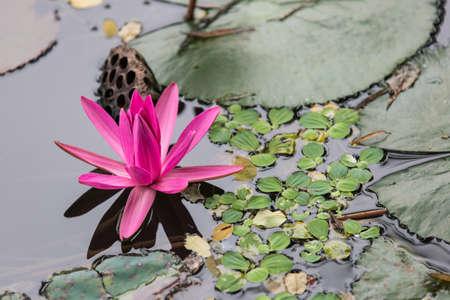 water nymph: Lotus flower Stock Photo