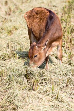cropland: Bovini cattle