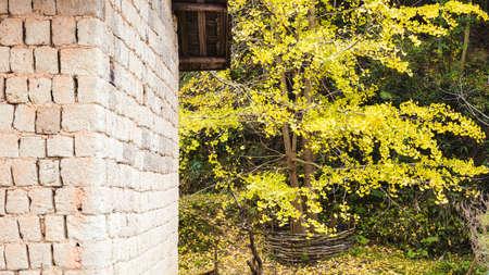 housetop: Autumn Ginkgo trees Stock Photo