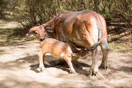 breastfeed: Cattle sculpture