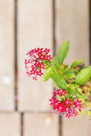 chinensis: Ixora chinensis