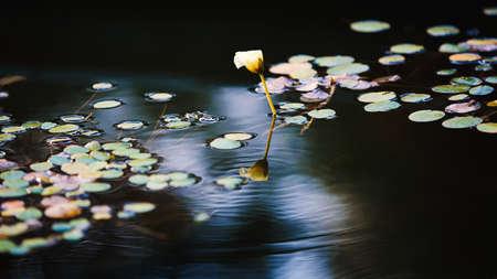 peacefulness: Lotus leaves