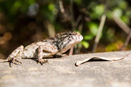 lizard in field: lagarto