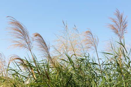 phragmites: Reed flowers