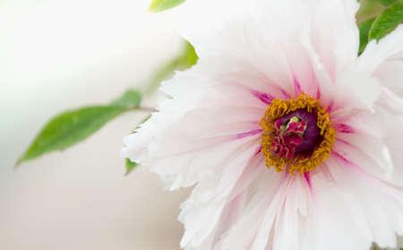 emerge: peony flower