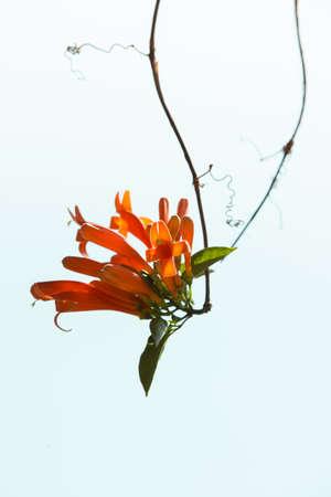 droop: flower