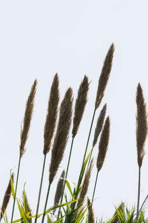 phragmites: plant phragmites communis