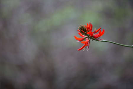erythrina: erythrina flower