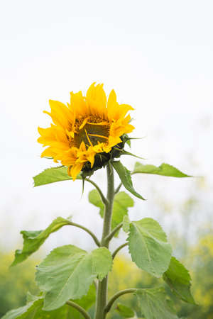 non cultivated: sunflower blooming in spring