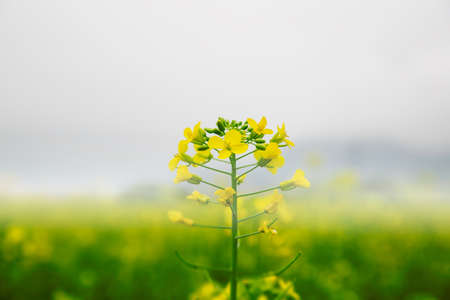 canola: canola flower blooming in spring