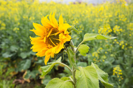 yelllow: sunflower and rape flower Stock Photo