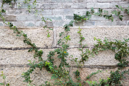 green house effect: wall crawled with rose bush