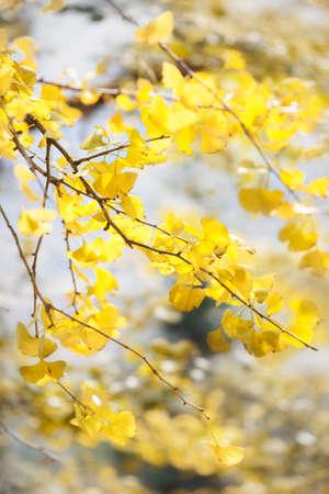 ginkgo tree: Ginkgo tree branches