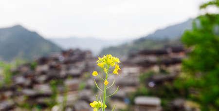 miao: rape blossom and Miao village Stock Photo