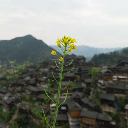 miao: petal blossom and Miao village