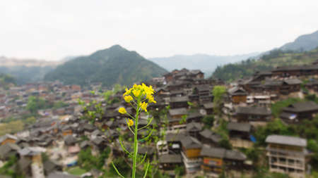 miao: Close up to rape blossom with Miao village as background