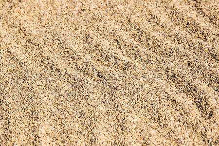 drying: Whole rice drying in the sun Stock Photo