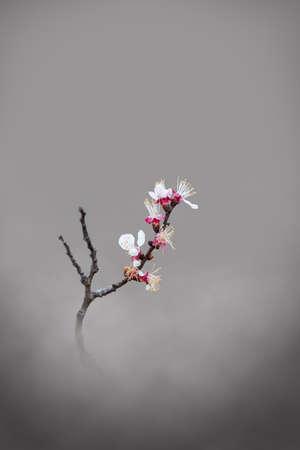 apricot blossom Standard-Bild