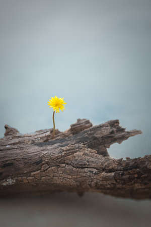 dandelion flower and rotten dead tree trunk Standard-Bild