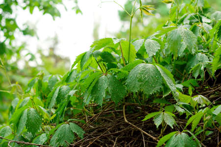 wil: Wil grape with raindrops on leaves surface Stock Photo