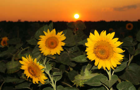 Sunflower field in the sunset photo