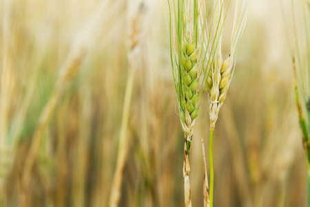 Yellow and green wheat stem closeup photo photo
