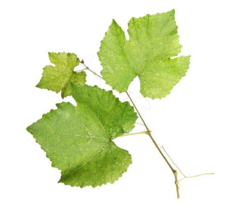 Fresh green vine leaves, isolated on white background Stock Photo