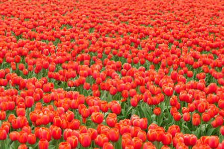 netherlands: Red tulip field in Netherlands Stock Photo