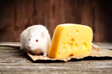 rata caricatura: Rata del animal dom�stico con un gran trozo de queso, fondo de madera