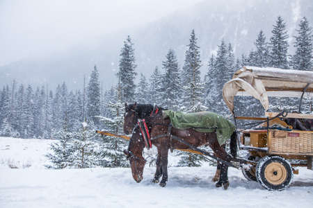 horse sleigh: Two horses on a snowy winter day.