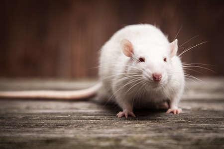 rat: Pet rats on a wooden background
