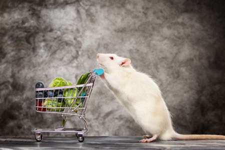 rat: Cute pet rat with a shopping cart on dark background