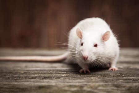 rata: Ratas para mascotas en un fondo de madera