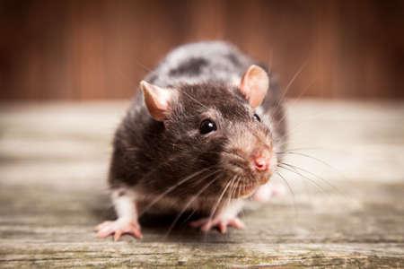 Rats animaux de compagnie sur un fond de bois Banque d'images - 46795844