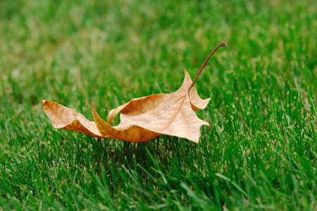 grassplot: a dry leaf on grassplot in autumn
