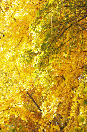 gingko: yellow gingko branches in park