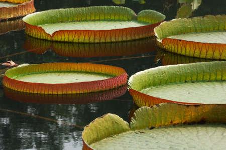 nervation: The big lotus leaves on park lake. Stock Photo